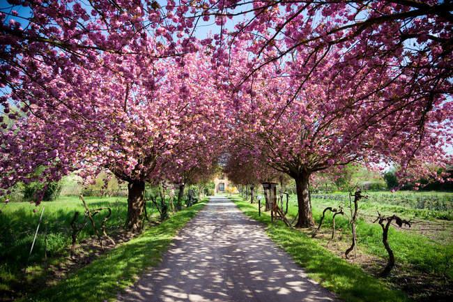 Квітучими деревами в рядку — стокове фото