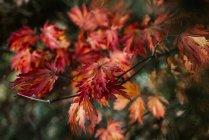 Vista del primo piano del ramo di acero giapponese con autunno colorato foglie — Foto stock