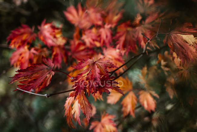 Closeup view of Japanese maple branch with autumn colorful leaves — Stock Photo
