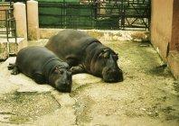 Vue de la mère et le bébé hippopotame couché sur le sol au zoo — Photo de stock