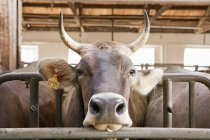 Close up view of bull head in stable — Stock Photo