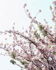 Helicopter flying over cherry blossoms branches — Stock Photo