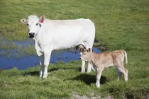 Side view of white cow and calf beside puddle in rural field — Stock Photo