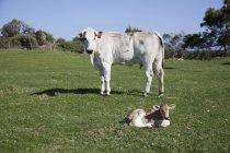 Vista lateral de blanco vaca y becerro de mentira al lado de campo - foto de stock