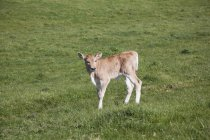 Side view of calf in at lawn in countryside field — Stock Photo