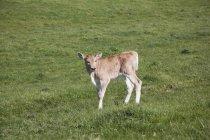 Seitenansicht des Kalbes in am Rasen in Landschaft Bereich — Stockfoto