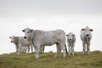 Herde weißer Kühe auf grünem Hügel am bewölkten Tag — Stockfoto