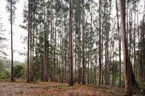 Fila di alberi ad alto fusto nella foresta di autunno — Foto stock