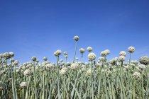 Vista ad angolo basso dell'aglio che cresce sui terreni agricoli — Foto stock