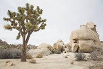 Джошуа дерево, растущее на скалы в ландшафт пустыни — стоковое фото