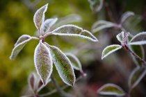 Close up view of leaves covered in frost — Stock Photo