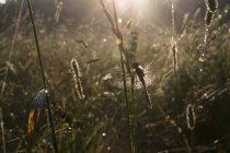 Стрекоза на стебле травы в летнем свете — стоковое фото