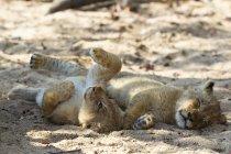 Filhote de leão brincalhão deitado ao lado de filhote dormindo — Fotografia de Stock