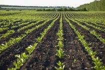 Superfície vista nível de linhas de novas plantas cultivadas no campo — Fotografia de Stock