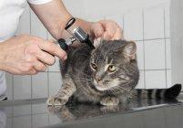 Crop vet examining cat's ear in clinic — Stock Photo