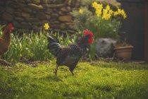 Hahn und Henne zu Fuß auf der Wiese — Stockfoto