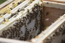 Close up view of bees on honeycombs at farm — Stock Photo