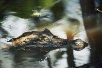 Obscurci vue de crocodile nage dans l'eau — Photo de stock
