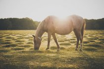 Cavalo pastando no campo iluminado pelo sol cênico durante dia de verão — Fotografia de Stock