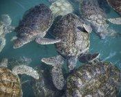 Vista ad alto angolo delle tartarughe che nuotano in mare — Foto stock