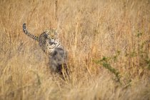 Leopard chasing warthog through tall grass — Stock Photo