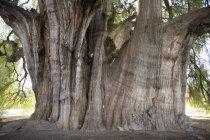 Cropped image de cyprès de Montezuma géant — Photo de stock
