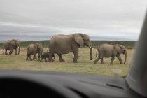 Семья слонов, ходить на обочине дороги, видно из автомобиля — стоковое фото