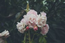 Nahaufnahme rosa Rosen blühen im Park — Stockfoto