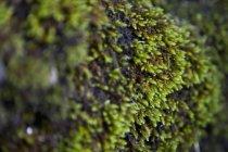 Nahaufnahme von grünem Moos — Stockfoto