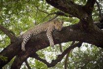 Leopardo che si trova sul ramo di un albero e che osserva via — Foto stock