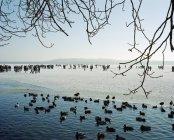 Anatre sul lago da paesaggio innevato con persone in background — Foto stock