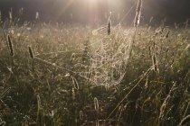 Ragnatela su piante in campo rurale sunlit — Foto stock