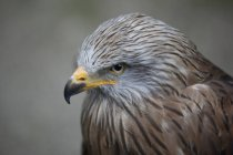 Close-up portrait of eagle against blurred background — Stock Photo