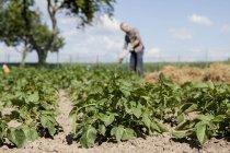 Plantes qui poussent dans la communauté jardin avec homme travaillant sur fond — Photo de stock