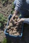 Mujer de cultivo manos explotación cosechado patatas en el jardín de la comunidad - foto de stock
