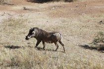 Vista laterale del maiale selvaggio cammina sull'erba — Foto stock