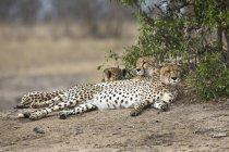 Três guepardos deitado lado a lado na natureza — Fotografia de Stock