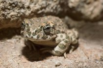 Primer plano retrato vista de rana sentada en roca - foto de stock