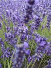 Close up view of lavender flowers in field — Stock Photo