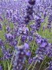 Vue rapprochée des fleurs de lavande dans le champ — Photo de stock