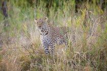 Commandes de léopard femelle alertement dans l'herbe — Photo de stock