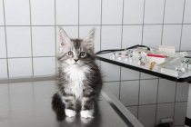 Portrait of cat sitting on table at vet clinic — Stock Photo