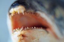 Primo piano dei denti nella bocca del pesce — Foto stock