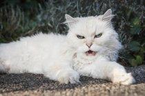 Porträt von weiße Katze liegend im Freien und knurrend auf Kamera — Stockfoto