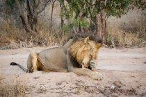 León macho frotándose la cara con la pata - foto de stock