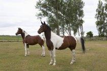 Pferde stehen auf der Wiese in die Natur — Stockfoto