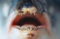Vista da vicino della bocca aperta del pesce morto — Foto stock