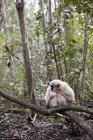 Weißer Affe sitzt auf Ast in der Natur — Stockfoto