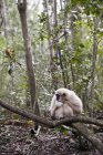 White monkey sitting on branch at nature — Stock Photo