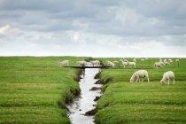 Flock of sheep crossing footbridge in scenic country grassland — Stock Photo